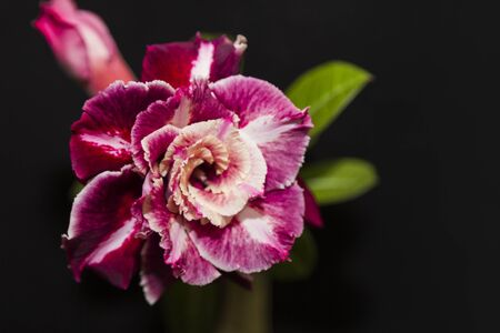 Beautiful flower rose or adenium on black background with copy space. Template for invitation. Close up. Selective focus on petals.