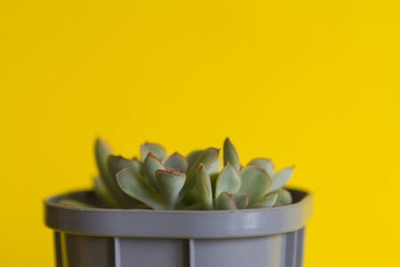 succulent or tiny green plant echeveria in grey spot on yellow background with copy space for text, close up