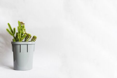 Small succulent or natural green plant Crassula in grey spot on white background with copy space Banco de Imagens
