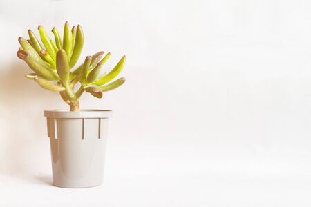 Small succulent or plant Crassula in grey spot on white background with copy space for text, toned sunlight