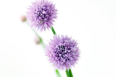 Flowers of Chives photo