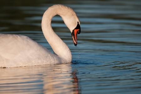 swan on the lake Stock Photo - 8507123