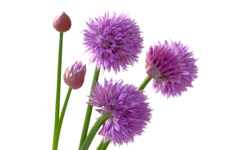lavender coloured: Flowers of Chives from garden on a white background Stock Photo