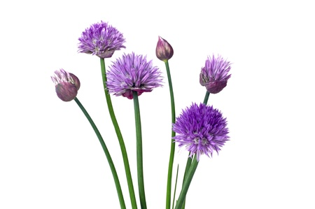 Purple chive (allium schoenoprasum) flowers on a white background.