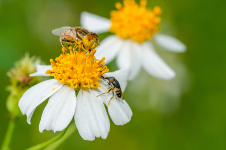 syrphidae: bee collecting pollen Stock Photo