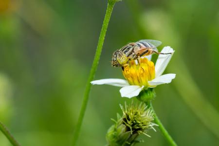 Flower fly collecting pollen on Bidens pilosa flower