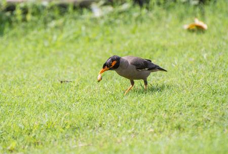 langosta: Banco morder myna pájaro que muerde una langosta Foto de archivo