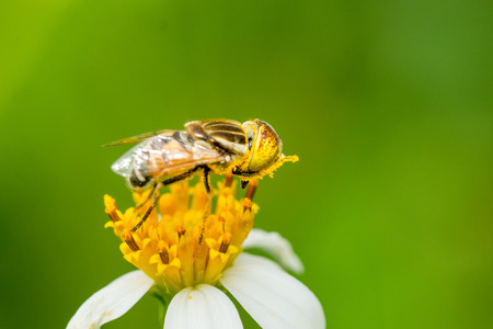 A syrphid fly collecting pollen on Bidens pilosa flower