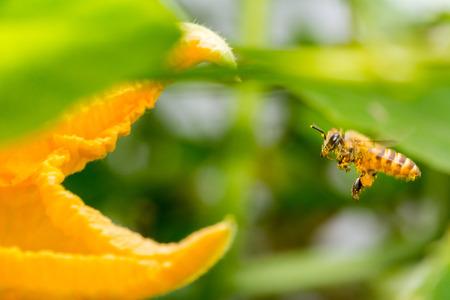 A honeybee is flying to a golden pumpkin flower.