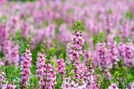 花の季節にピンクのサルビアの花のクローズ アップ