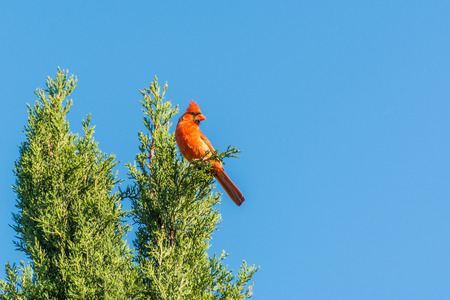 A red northern cardinal bird perching on the top of cypress tree against blue sky Stock Photo