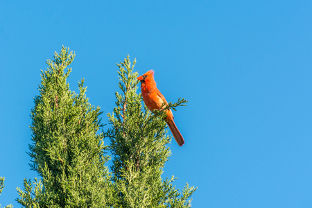 A red northern cardinal bird perching on the top of cypress tree and staying alert