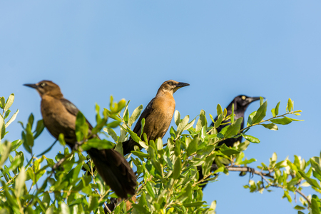 turdus: Clay-colored thrush birds and black crow perching on the top of green tree against blue sky Stock Photo