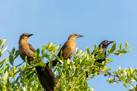 Clay-colored thrush birds and black crow perching on the top of green tree against blue sky 免版税图像