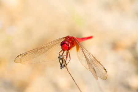 Close-up of  red dragonfly perching on a dry dandelion flower with soft background