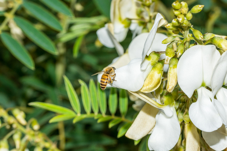 Macro of bee collecting nectar on flowers of a white acacia(Robinia pseudoacacia) against green foliage Stock Photo