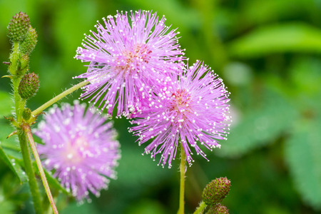 Macro of pink flowers of Mimosa pudica, also called sensitive plant, with water drops