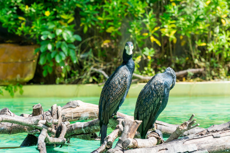 Two great cormorants perching on branches