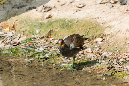 A moorhen at the lakeside Stock Photo