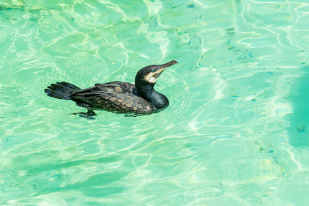 A great cormorant swimming in water