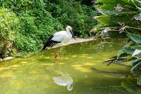 A white storks walking on pond in wetland reserve Stock Photo