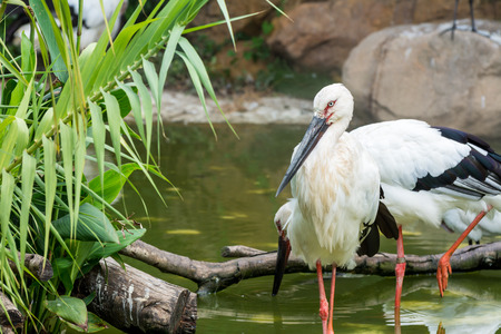 White storks standing on pond in wetland nature reserve Stock Photo