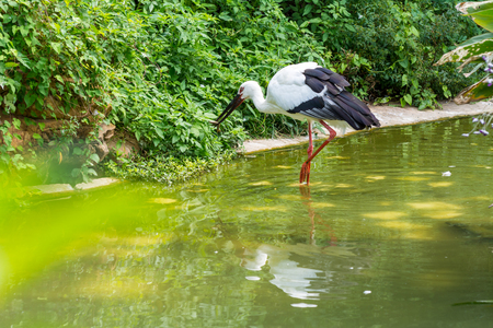A white storks standing on pond in tropical nature reserve