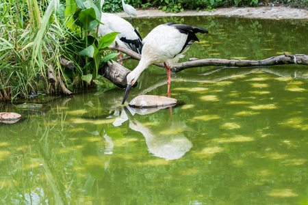 A white stork drinking water in a green pond