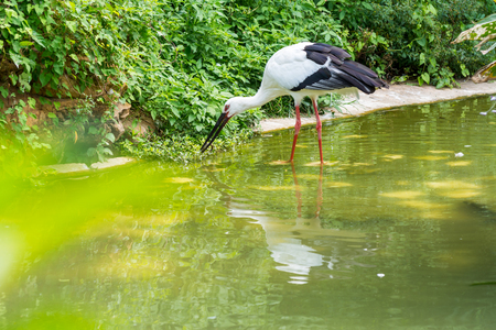 A white storks eating a loach on pond in tropical nature reserve