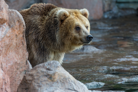 Portrait of brown bear waiting for food on rocks, side view Stock Photo