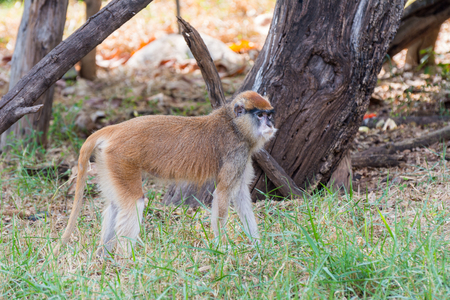 The patas monkey walking on the grassland in zoo Stock Photo