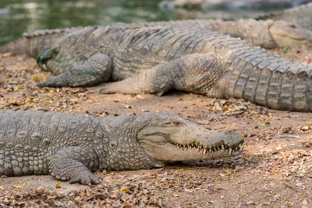 Closeup of marsh crocodiles at nature reserve area Stock Photo