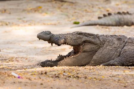 Closeup of marsh crocodile at nature reserve area