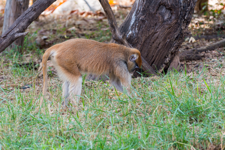 Patas monkey in the zoo
