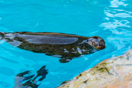 aquaria: Spotted seal swimming in blue pool Stock Photo