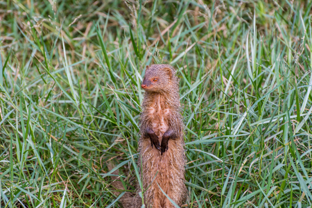 Indian grey mongoose in grassland of zoological park
