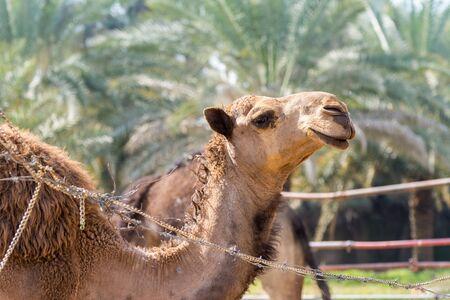 Chameaux bruns dans la ferme près de l'Old Dariya, Riyad, Royaume d'Arabie Saoudite