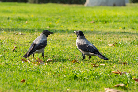 Two grey white neck hooded crows looking each other on grassland in autumn with fall leaves in Tehran, Iran Stock Photo