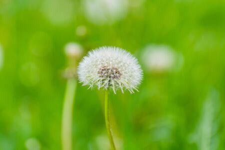 White dandelion flower with green background in the park of Zurich, Switerland