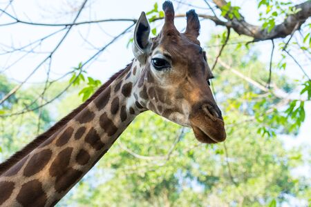 Portrait of an African giraffe ( Giraffa camelopardalis),  an African even-toed ungulate mammal, the tallest living terrestrial animal and the largest ruminant Stok Fotoğraf
