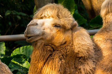 bactrian camel (Camelus bactrianus), a large, even-toed ungulate native to the steppes of Central Asia. The Bactrian camel has two humps on its back Banco de Imagens