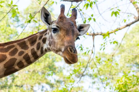 Portrait of an African giraffe ( Giraffa camelopardalis),  an African even-toed ungulate mammal, the tallest living terrestrial animal and the largest ruminant Stock Photo