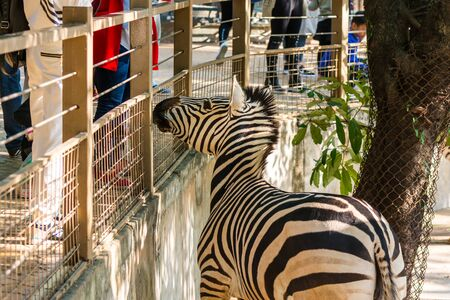 Plains Zebra ( Equus quagga) waiting for food in a zoo, the most common and geographically widespread species of zebra Stock Photo