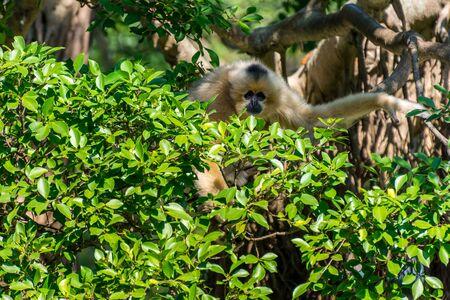 Golden snub-nosed monkey (Rhinopithecus roxellana) hanging at trees, an Old World monkey in the subfamily Colobinae. Reklamní fotografie