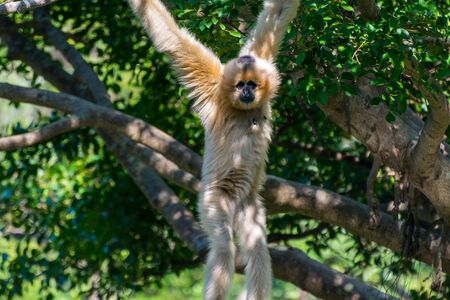 Golden snub-nosed monkey (Rhinopithecus roxellana) hanging at trees, an Old World monkey in the subfamily Colobinae. It is endemic to a small area in temperate, mountainous forests of central and Southwest China