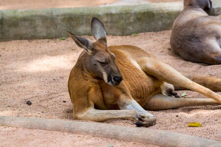 Kangaroo sleeping in a zoo, a leaping mammal of Australia and nearby islands that feeds on plants
