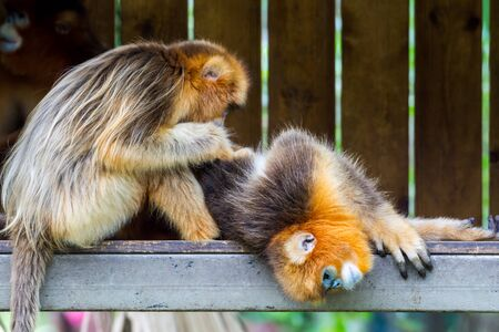 A mother golden snub-nosed monkey searching search  lice in the hair of a baby golden monkey. Reklamní fotografie