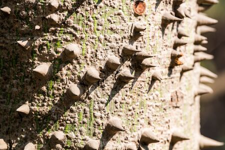 spiks on the trunk of the Bombax ceiba tree, known as red silk-cotton; red cotton tree; or ambiguously as silk-cotton or kapok, both of which may also refer to Ceiba pentandra. Stock Photo