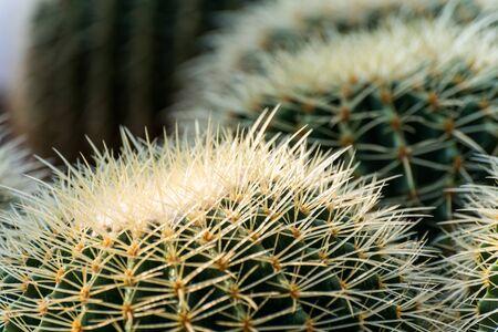 Ball cactus, (genus Parodia), genus of 60–70 species of cacti (family Cactaceae) native to the grasslands of South America. Stock Photo - 137949491