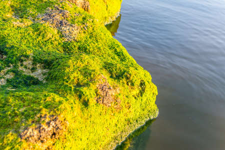 Green moss growing on the stone at the stones at the Corniche park in Dammam, Kingdom of Saudi Arabia Stock Photo
